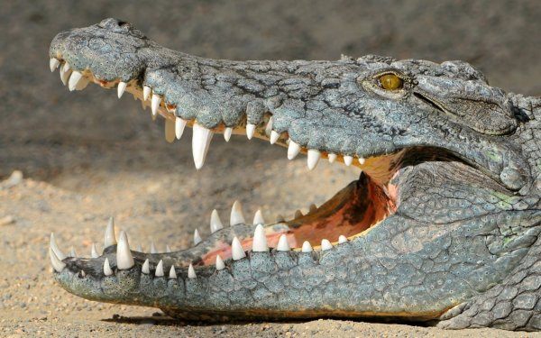 crocodile_with_open_mouth-1280x800.jpg
